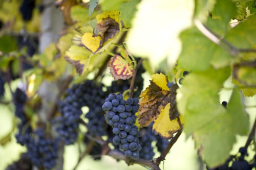 Spätburgunder Rotwein